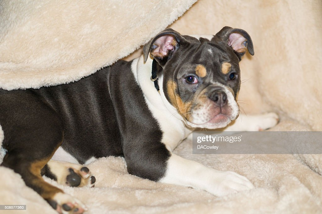 English Bulldog Puppy Laying Down : Bildbanksbilder