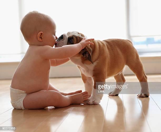 English Bulldog Puppy Licking Baby