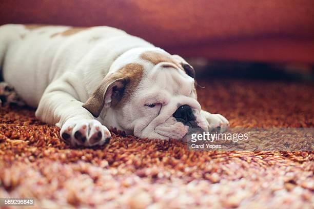 English Bulldog Puppy on carpet