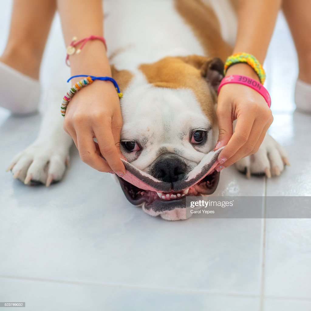 english bulldog Puppy smiling : Stock Photo