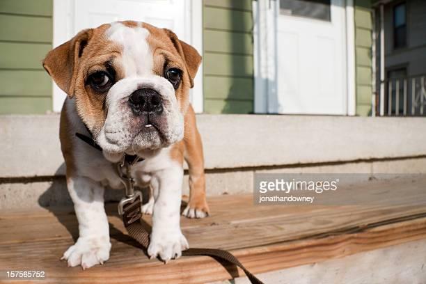 Englisch Bulldogge Welpen