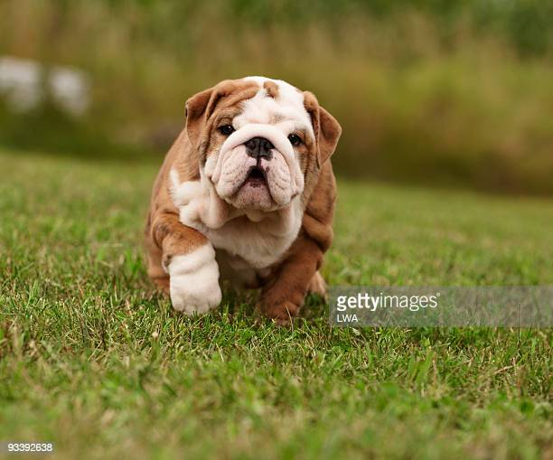 English Bulldog Puppy Walking In Grass