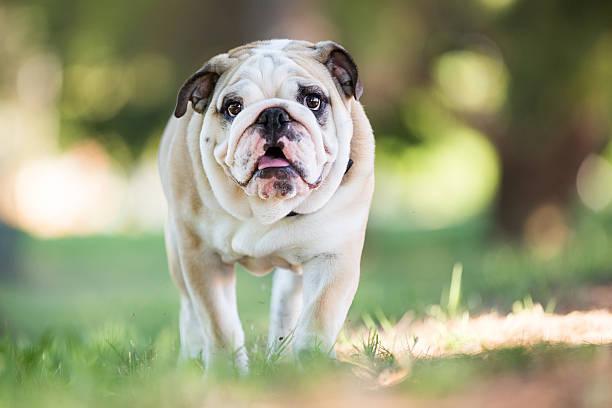 English Bulldog Puppy Walking Outdoors Wall Art