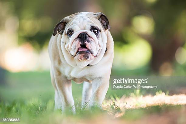 English Bulldog Puppy Walking Outdoors