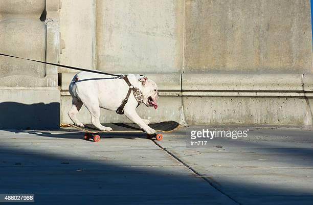 English bulldog riding a skateboard on the street