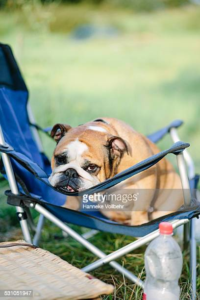 English bulldog sitting on camping chair