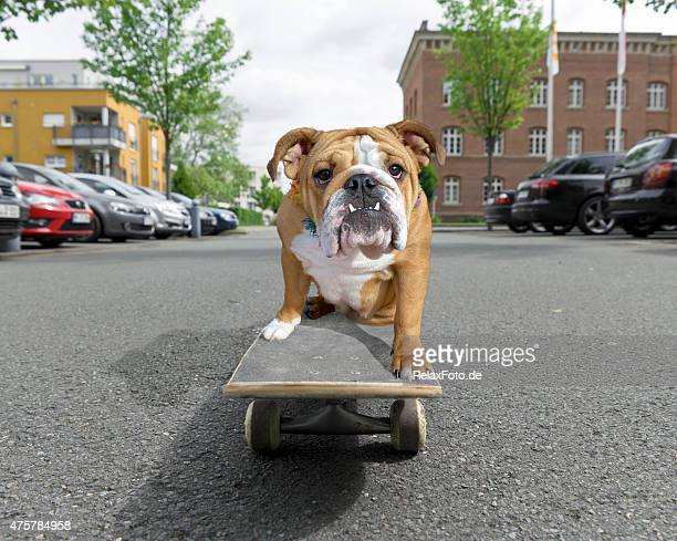 English bulldog sitting on skateboard in street