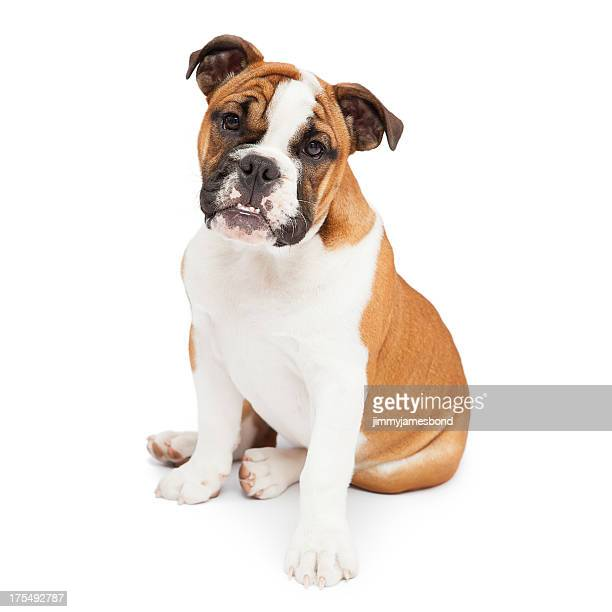 English Bulldog Sitting