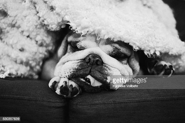 English bulldog sleeping covered with blanket