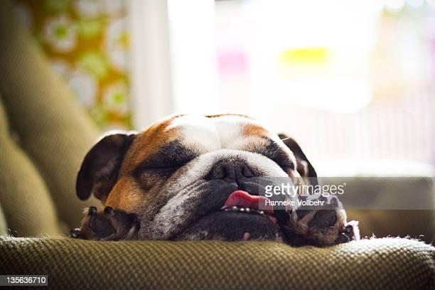English bulldog sleeping in chair