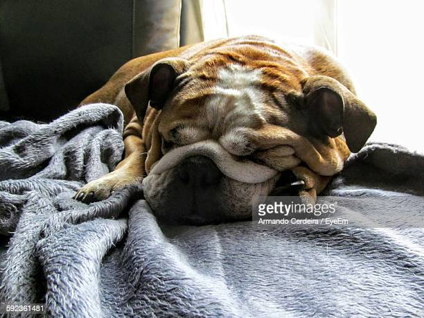 English Bulldog Sleeping On Bed At Home