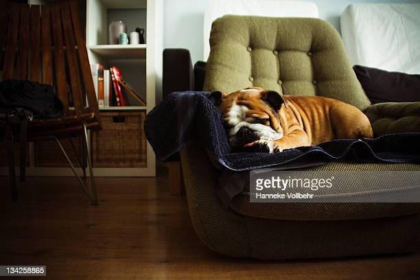 English bulldog sleeping on chair