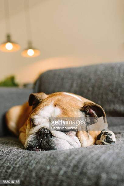 English bulldog sleeping on couch