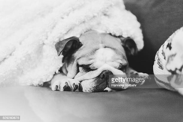 English bulldog sleeping on couch with blanket