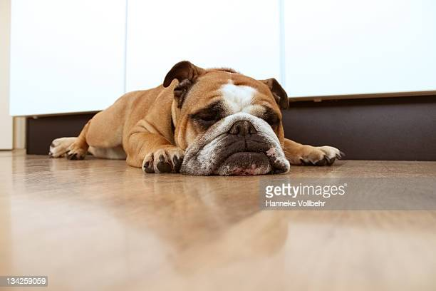 English bulldog sleeping