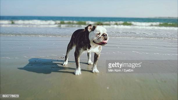 english bulldog standing at beach against sky - english bulldog stock pictures, royalty-free photos & images