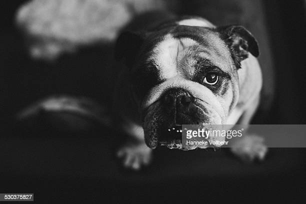 English bulldog staring in camera