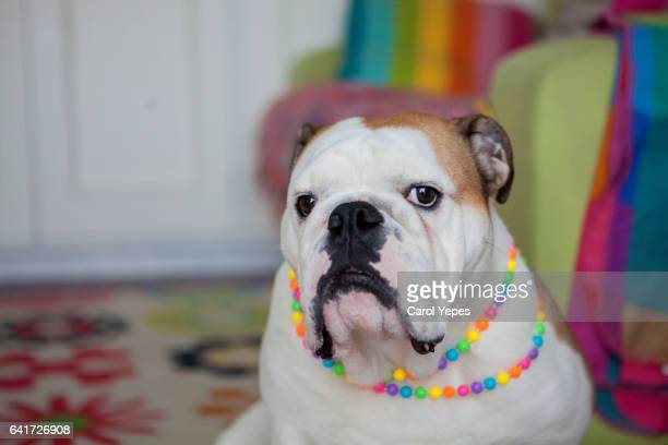 english bulldog wearing colorful necklace