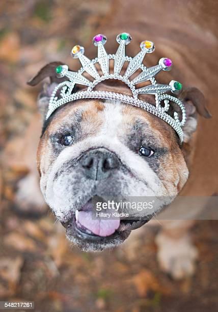 English Bulldog wearing crown