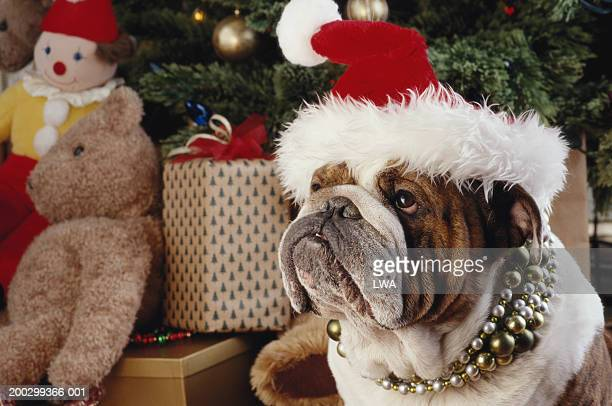 english bulldog wearing santa hat with christmas gifts in background - english bulldog stock pictures, royalty-free photos & images