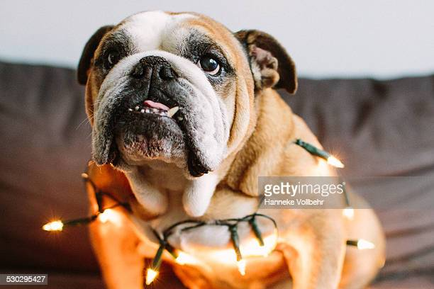 English bulldog with Christmas Lights