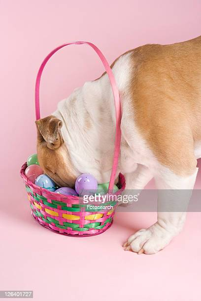 english bulldog with face buried in easter basket on pink background. - dog easter stock pictures, royalty-free photos & images