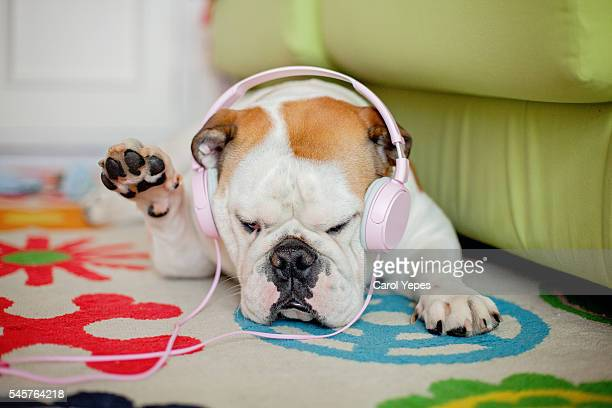 english bulldog with headphones
