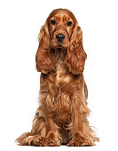 English cocker spaniel, 9 months old, sitting against white background
