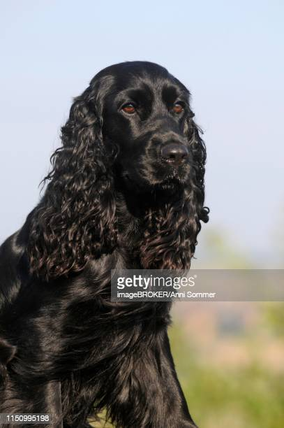 English Cocker Spaniel, black, bitch, animal portrait, Austria