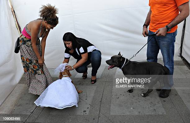 """English Cocker Spaniel Blondie and American Staffordshire Terrier Katar are prepared by their owners before being """"married"""" to promote animal..."""