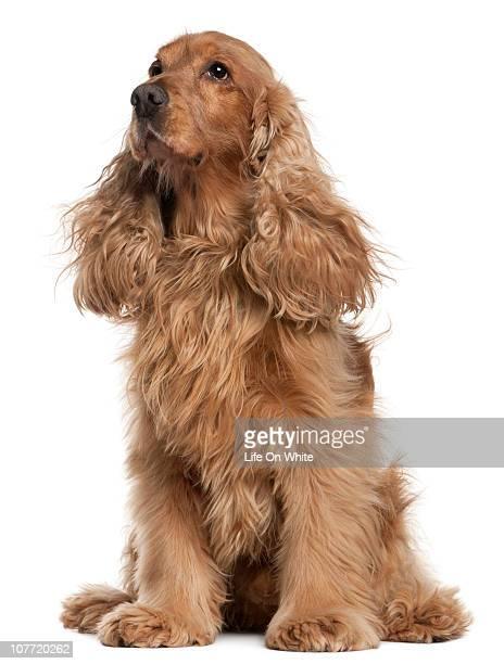 english cocker spaniel in the wind (9 years old) - cocker spaniel foto e immagini stock