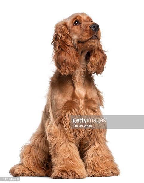 english cocker spaniel (2 years old) - cocker spaniel foto e immagini stock