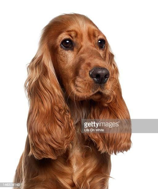 60 Hochwertige Cocker Spaniel Bilder Und Fotos Getty Images
