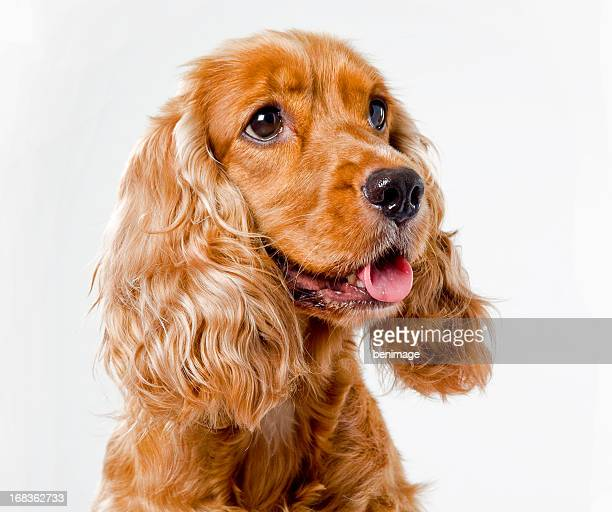 english cocker spaniel - spaniel stock photos and pictures
