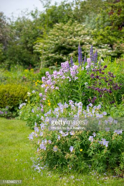english cottage garden in may - columbine flower stock pictures, royalty-free photos & images