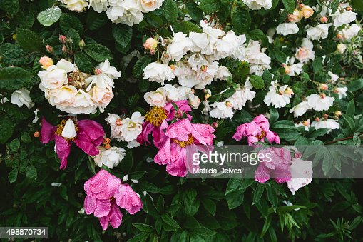 English Country Rose Gardens On A Rainy Day Stock Photo