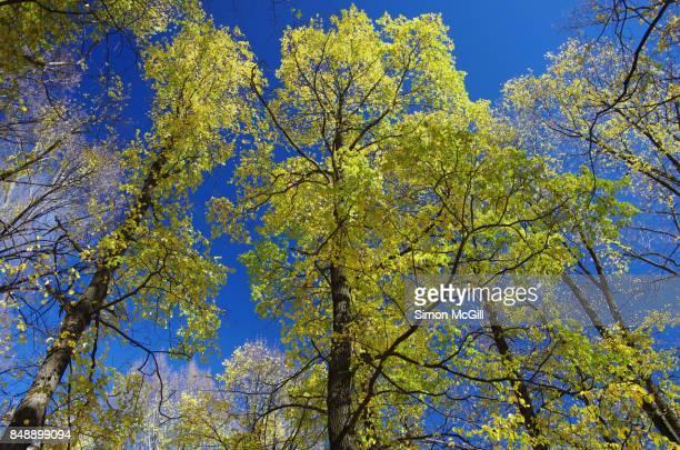English Elm trees during Autumn in Glebe Park, Canberra, Australian Capital Territory, Australia