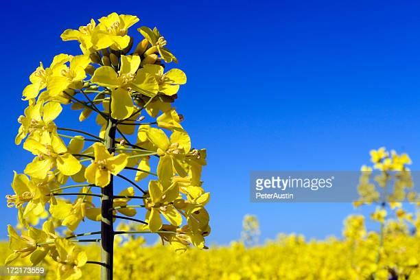 English Field of Oilseed rape
