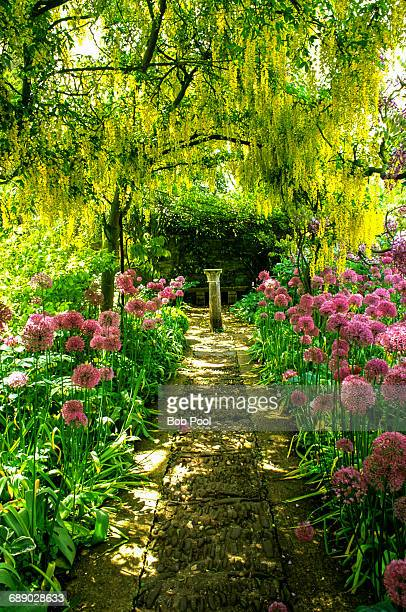 English garden with golden chain trees and alium