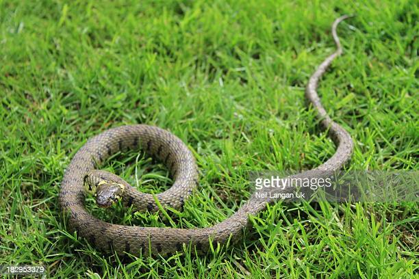 english grass snake in garden - grass snake stock pictures, royalty-free photos & images