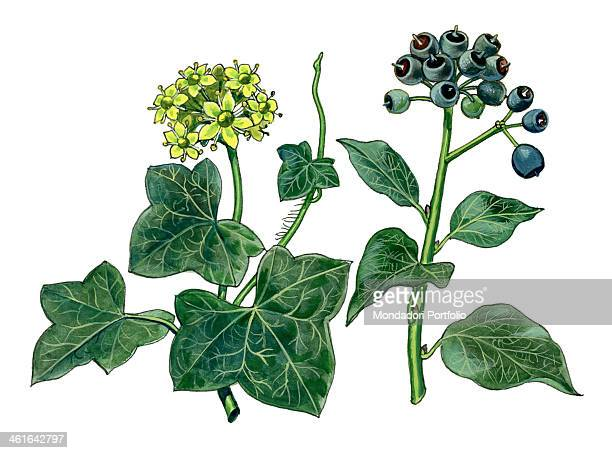 English ivy by Giglioli E 20th Century ink and watercolour on paper Whole artwork view Drawing of the plant with tendrils leaves and flowers