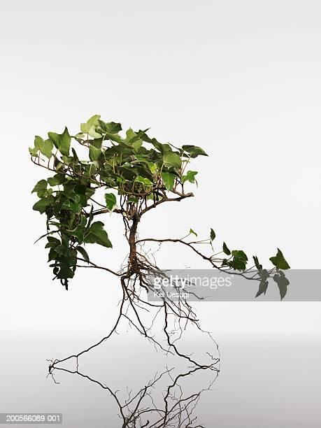 English ivy (Hedera helix) seedling on white background