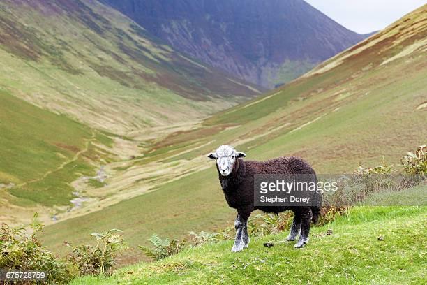 English Lake District - A black Herdwick sheep