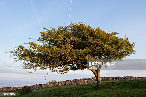 english lake district: hawthorn at sunset - may flowers stock pictures, royalty-free photos & images
