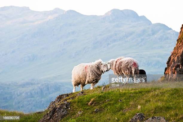 English Lake District: Herdwick sheep
