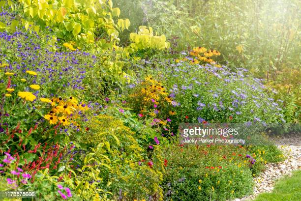 a english late summer garden herbaceous flower border with rudbeckias and michaelmas daisies - flower head stock pictures, royalty-free photos & images