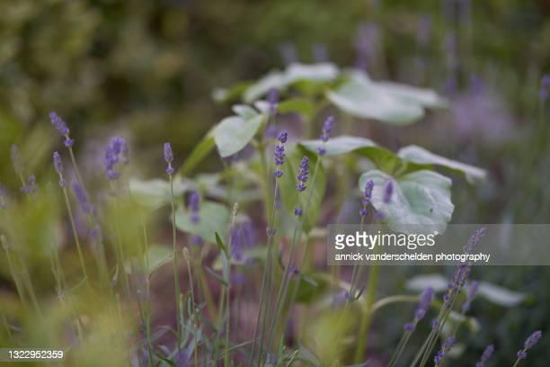 english lavender - annick vanderschelden stock pictures, royalty-free photos & images