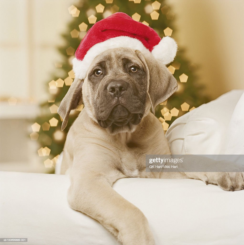 English mastiff dog wearing santa hat, close-up : Stock Photo
