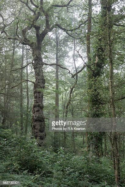 English Oak in a misty September woodland