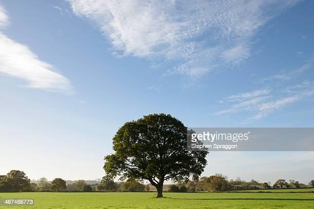English Oak in Field